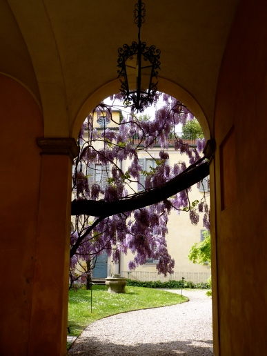 Milano Italy purple flowers summer glycine creeping vine