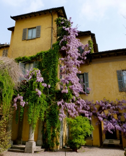 Milano Italy purple flowers summer glycine beautiful building